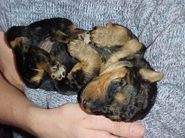 border terrier hvalpe