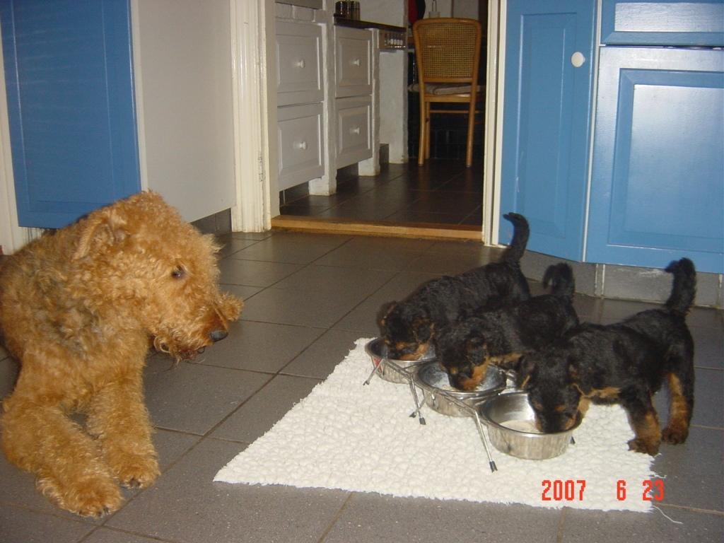 airedale terrier til salgs